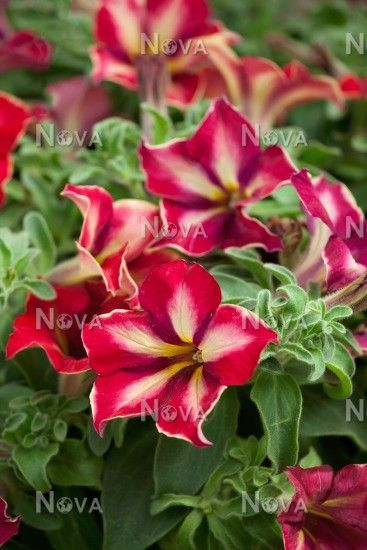 Petunia Crazytunia ® Mandeville | marsNova                                                                                                                                                                                 More