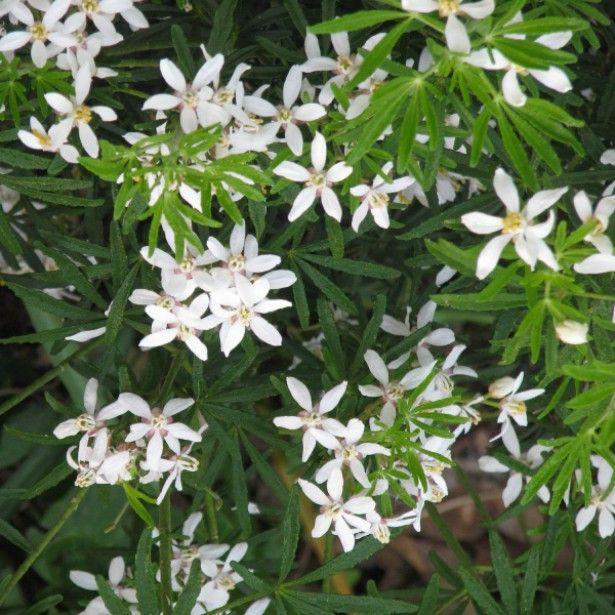341 best arbustes images on pinterest - Oranger du mexique choisya ternata ...