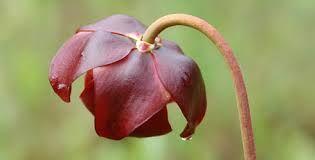 pitcher plant newfoundland - Google Search