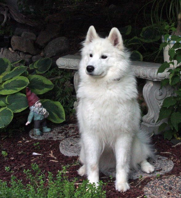 Dog Breed That Looks Like A Rug: 116 Best Images About Samoyed On Pinterest