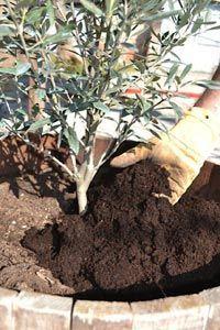 En début de saison, l'olivier a besoin qu'on s'occupe de lui, pour être pimpant durant l'année qui vient. Découvrez les soins indispensables, du rempotage à la taille en passant par les éventuels apports d'engrais.