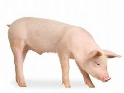 Résultat d'images pour photo de porc