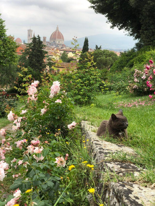 This Cat Chilling In The Rose Garden In Florence Italy Aww