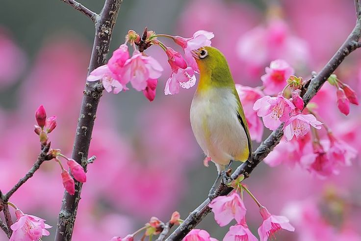 Tahukah Anda apa itu nektar? Nektar adalah cairan manis di dalam bunga yang berfungsi untuk memikat serangga. Selain serangga ternyata terdapat beberapa jenis hewan yang menyukai nektar, seperti burung Madu Kelapa, burung Sogok Ontong atau Sun Bird, burung Pleci, burung Madu Sriganti, burung Kolibri Sepah Raja dan lain-lain. Apakah sebagian dari Anda ada yang memelihara …