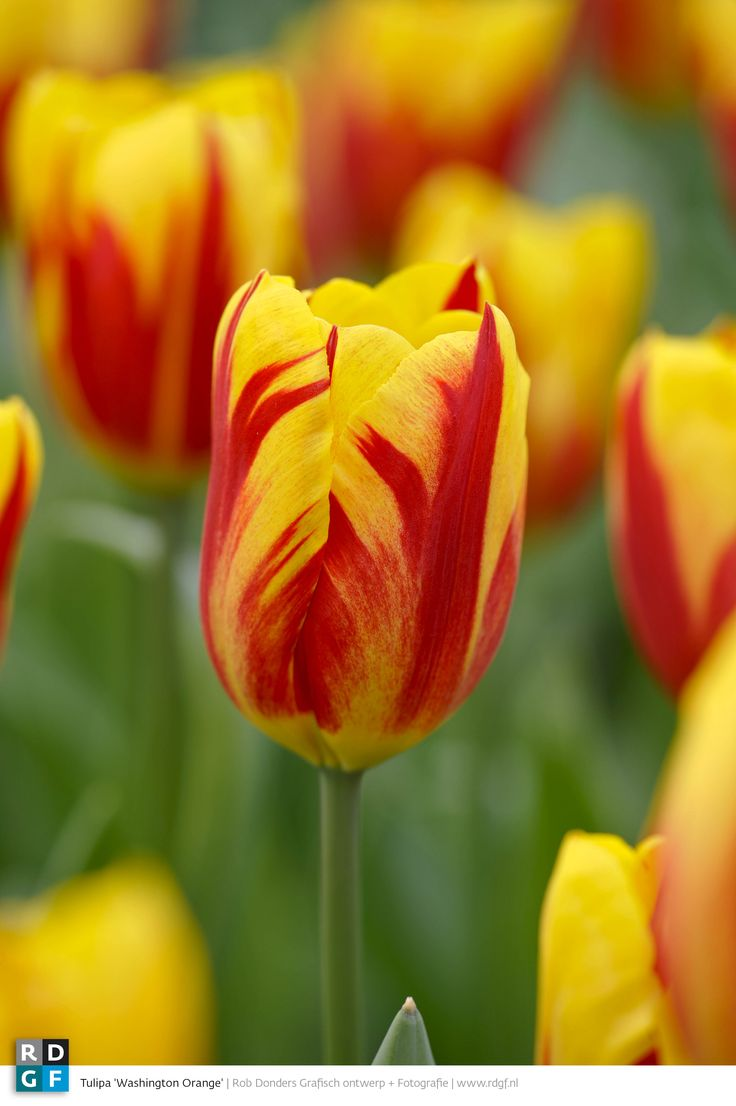 Picture: Rob Donders | Location: Keukenhof - The Netherlands | Tulipa 'Washington Orange'