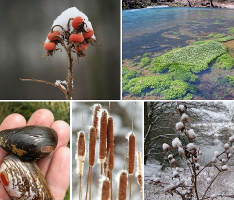Wild Winter Edibles | 10 foods you can find: Rose Hips, Watercress, Pine Needles, Cattails, Wild Onion, Burdock, Freshwater Clams, Chickweed, Dandelion, Acorns