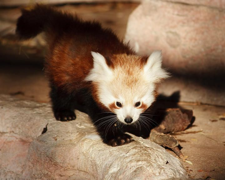 Assez 595 best sweet red Panda images on Pinterest | Red pandas, Panda  EX76