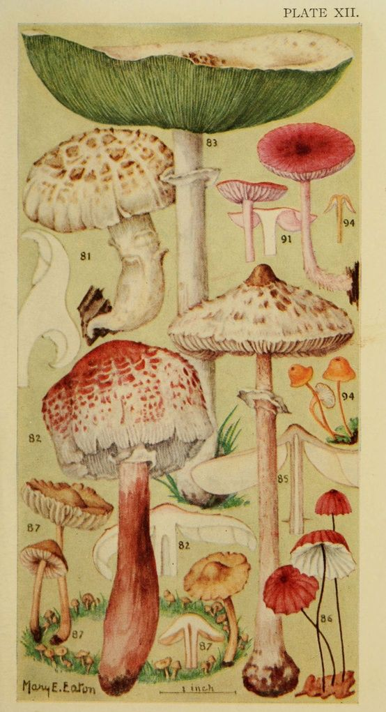 ✯ Mushrooms :: Mary E. Eaton ✯