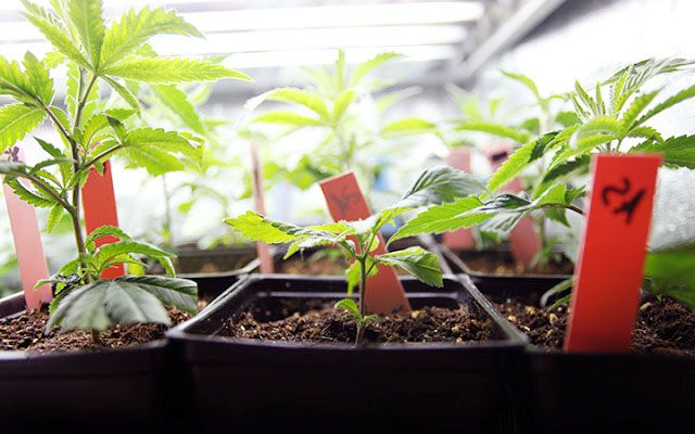 Etapas del autocultivo del cannabis |Kannabia Seeds - YesWeSkunk #blog   #etapas #autocultivo #cannabis #marihuana #kannabia #yesweskunk #skunk #autocultivadores #plantas #germinacion #esquejes #semillas #semillasmarihuana #autoflorecientes #plantula #cosecha #floracion