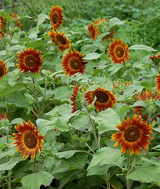 Little Becka Hybrid Sunflower #garden