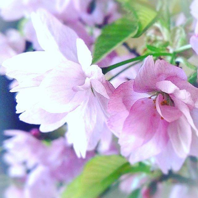 【hiro_pee_v】さんのInstagramをピンしています。 《さくら ひらひら 舞い降りて落ちて🎵 ※ サビの所しか知らないけど… 耳に残るちょっと切ない感じ… #いきものがかり 🎵 彼女の澄んだ声が沁みる~💕 ※ ファンの子は驚いただろうね~😅 ※ これからの活躍が楽しみだ🎵 ※ ※ #SAKURA#桜#家の桜#春よ来い#4ig_flowers#igscflowers#ip_blossoms#insta_pick_blossoms #myheartinshots#loves_garden #lovely_flowergarden#kings_flora #bns_flowers#blossoming_petals #eye_spy_flora#fabulous_shots #flowerstalking#wp_flower#whim_fluffy#tv_flowers#top_favourite_flowers #rainbow_petals#superb_flowers #phx_flowers#ptk_love#quintaflowers#9vaga9》
