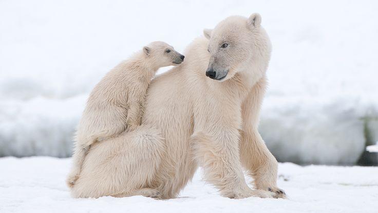 Polar Bear Family #polarproducts