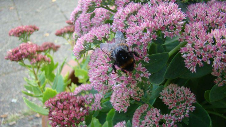 Roze hemelsleutel (sedum spectabile) met hommel / with bumble bee