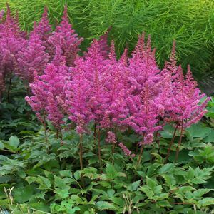 Beautiful color for my garden. Astilbe 'Maggie Daley' enjoys a mod. to moist soil location in part shade gardens.