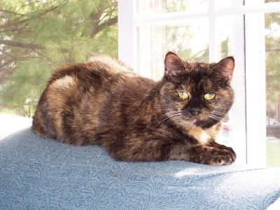 Tortoiseshell cats are said to have a unique personality, also known as tortitude.