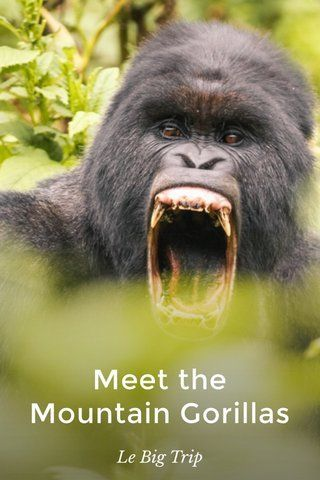 Check out this story Le Big Trip on Mountain Gorillas #travel #widlife #rwanda