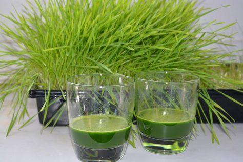 Comment faire pousser de l'herbe de blé en 5 étapes. Cliquez pour le découvrir.