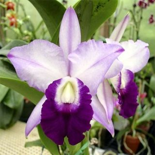 Cattleya Orchid....what a beauty!!!!