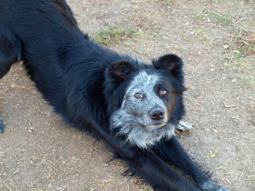 Texas Heeler - Border Collie  & Australian Cattle Dog Mix