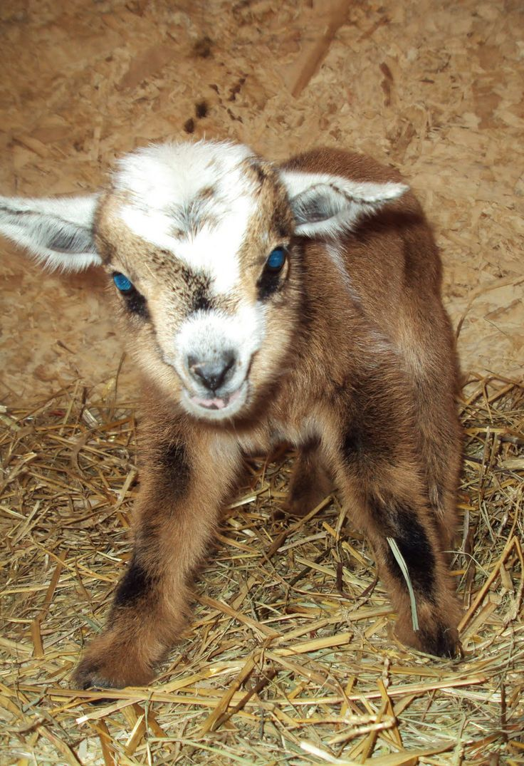 A Goat S Journey Over Life S: Homestead ..... From Scratch: Nigerian Dwarf