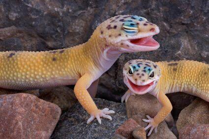 Leopard gecko morphs