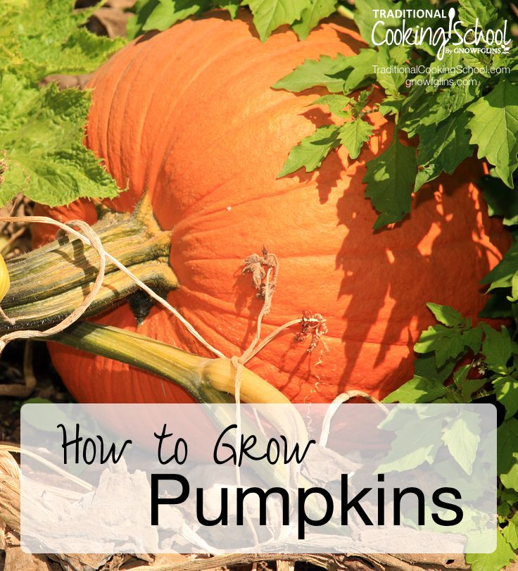How to Grow Pumpkins | Pumpkins are a favorite garden vegetable. Not only do they make pretty fall decorations for your front porch, but they perform beautifully in the kitchen -- starring in a number of savory and sweet recipes. If you have space in your garden, they're really easy to grow -- here's how. | TraditionalCookingSchool.com