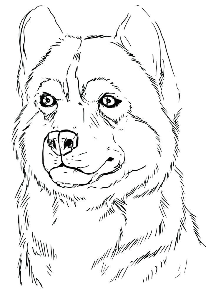 Husky Coloring Page : husky, coloring, Husky, Coloring, Pages, Sheets, Puppy, Pages,, Animal