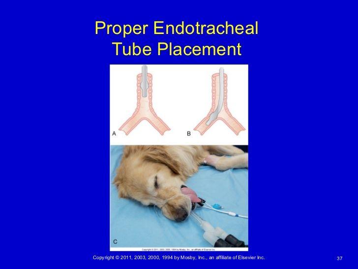 Bilderesultat for endotracheal intubation in dogs