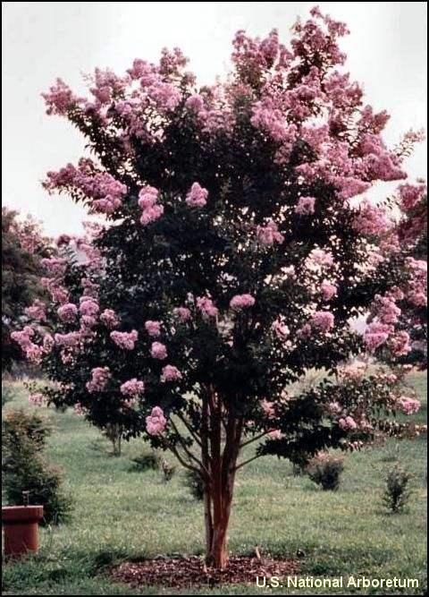 These crape myrtles are cold hardy through zone 5 the for Hardy flowering trees