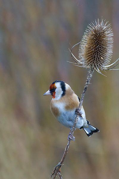 Goldfinch by Mark Hancox
