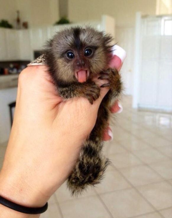Finger monkeys are so awesome!!
