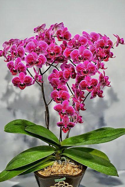 ❀❁~ Orquidea ~❁❀  Phalaenopsis - Diamond Series