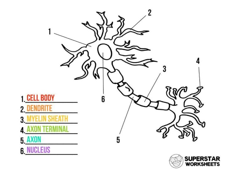 Animal Cell Labeling Worksheet Answers Neuron Cell Worksheets Superstar Worksheets Cells Worksheet Neurons Free Science Worksheets