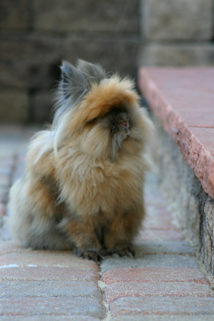 Lionhead Bunny! There the cutest I have a Carmel one.