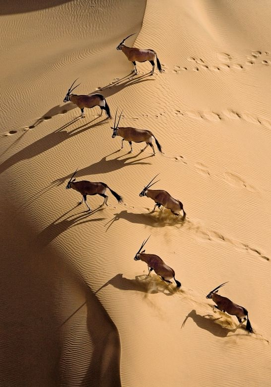 Gemsbok herd, northern Skeleton Coast, Namibia:   Gemsbok are able to survive in even the harshest conditions thanks to an intricate network of blood vessels in the nose which cool down the blood supplied to the brain.  by Michael Poliza