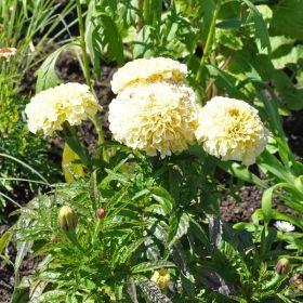 STOR TAGETES F1 'Vanilla' i gruppen Ettåriga blomsterväxter hos Impecta Fröhandel (8753)