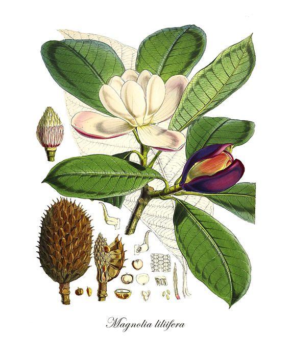 Botanical Print Magnolia Print Magnolia Botanical Print Etsy Botanical Art Botanical Prints Botanical Illustration