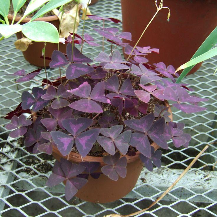 проблемы с листьями кислицы фото того, средство прекрасно