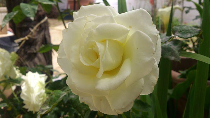 Λευκό τριαντάφυλλο !!!  Σεμπτέμβριος  2016 !!!!