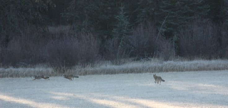 3 coyotes cavorting on the meadow late October