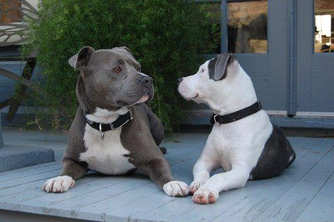 the brindle and white looks a lot like my dog!