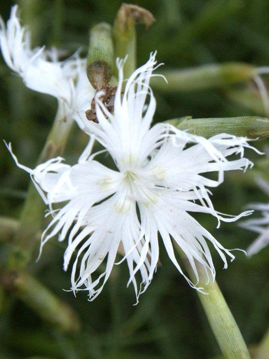 Dianthus arenarius - Sandnelke, Heidenelke   Die Sandnelke bildet eindichtes, fast rasenartiges Polster aus wintergrünen Blättern,aus denen sich von Juni bis August ein meer von strahlend weißeen Blüten bildet.Selbst...