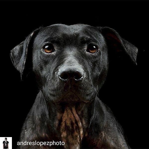 Reposted From Andreslopezphoto Hace Un Año Que Retraté A Nunina En El Refugio De La Protectora Axla Madrid Sigue Allí Cua Labrador Retriever Dogs Labrador