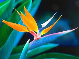 Image result for bird of paradise flowers images