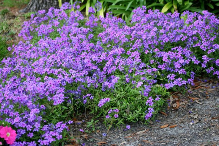 Für Blumenkasten im Schatten/Woddland Phylox | Blue Woodland Phlox Phlox divaricata/