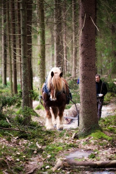 Ardenner - Working in the Swedish forest