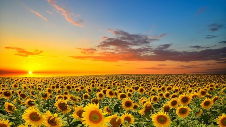 Sunset over sunflower field, Spain