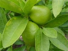 Lime tree tips - I am thinking about digging up my lime trees and putting them in a pot.