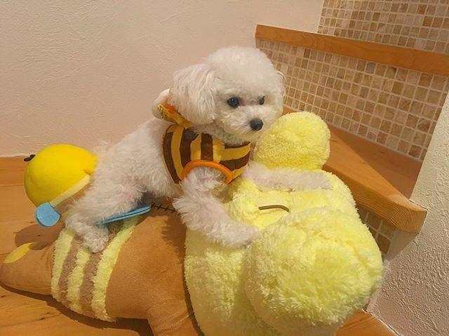 , 我が家のアイドル😚👋🏻💓 可愛すぎでしょ👋🏻💓💓🐝 . #愛犬#トイプードル#トイプードルアンディ #トイプードルホワイト #トイプードル子犬 #mydog #dog #doglover #dogslife #instadog #instalike #instagood #instadaily #nice #nicepicture #goodmorning #goodlife #good #cute#toypoodle #犬#コスプレ#リラックマ#可愛い#ハチ
