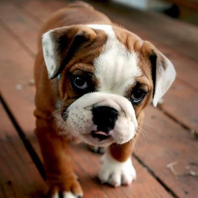 buy english bulldog puppy best 25 bulldogs ideas on pinterest bulldog puppies 2169